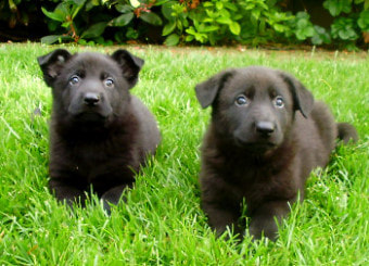 Things to Look For While Buying German Shepherds Puppies for Sale